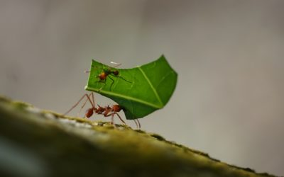 Les fourmis champignonnistes